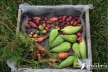 En su huerta en el bosque húmedo de Coatepec, Manolo experimentó con tubérculos andinos de Boyacá, Colombia que florecieron dando vida a una diversa oferta gastronómica.
