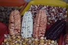 """Perú es conocido por ser hogar de la mayor diversidad de maíz en el mundo con 55 """"razas geográficas"""". Fuente: 3Colibrís."""