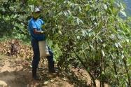 Campesino de San Miguel de Tucurí en plena cosecha de café. Fuente: 3Colibrís.