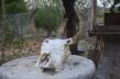 El control de plagas biológico, enterrando cuernos de vaca es una práctica común entre quienes siguen la agricultura biodinámica. Fuente: 3Colibrís.