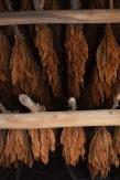 Así se hace el tabaco en una finca campesina en la provincia occidental de Pinar del Río. Fuente: 3Colibrís.